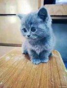 转让一只蓝猫
