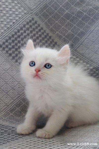 出两个月带血统证书纯白蓝眼长毛猫猫