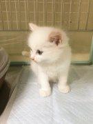 東京周邊,正規華人寵物店,日本貓咪,貓,布偶貓,各種貓咪