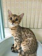 東京周邊,正規華人寵物店,日本貓咪,貓,豹貓,各種貓咪