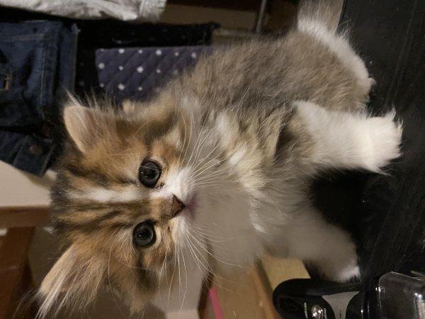 出自家金吉拉猫宝宝