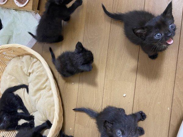 低价出小黑猫