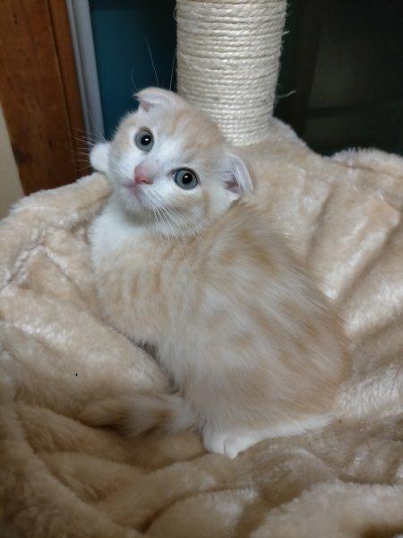 東京周邊,正規華人寵物店,日本貓,各種貓咪