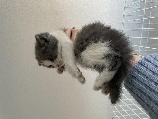 藍白小萌貓
