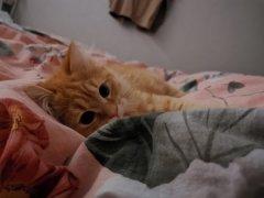 个人原因无法饲养 低价转让  一只半岁的西伯利亚森林猫 未绝