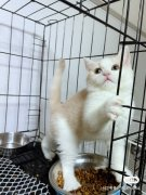 超美乳白色貓咪