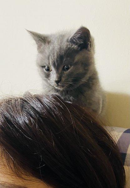 英短 蓝猫 小奶猫