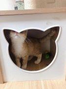 正規貓舍出超黏人蘇格蘭折耳