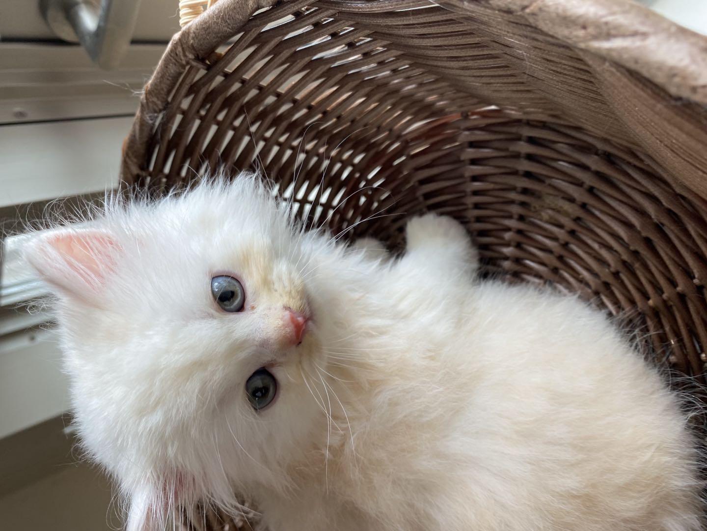 拿破仑乳色长毛小公猫
