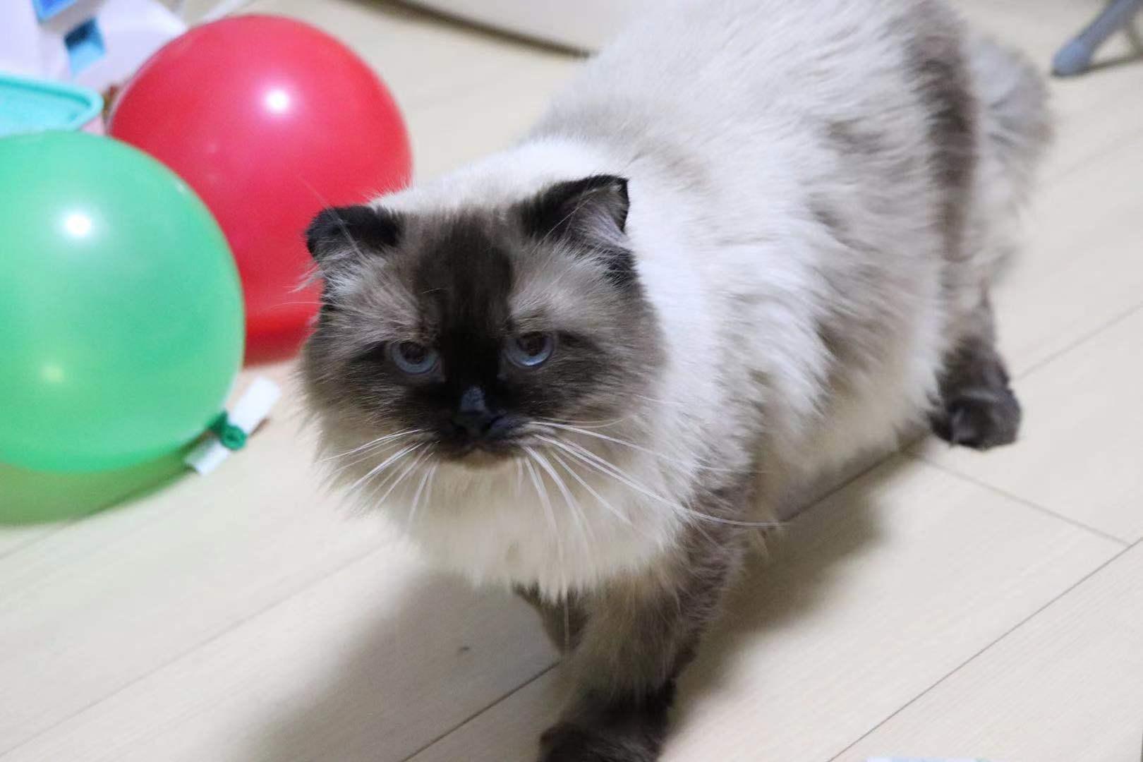 两只猫猫赠送
