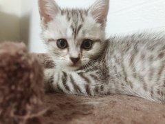 出一只美短小猫